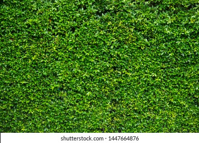 Green Leaves texture background wallpaper.- Image