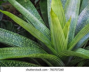 Green leaves texture. Vriesea gigantea