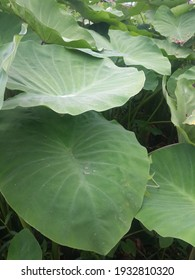 green leaves that grow in the banjarmasin swamp