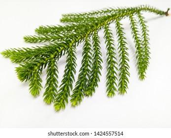 Green leaves that look like thorns