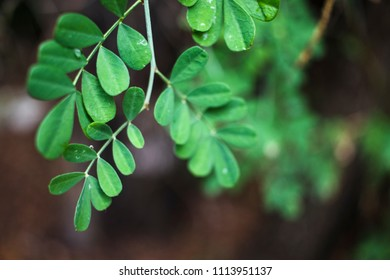 Green leaves in thin branches on brown background in Croatia