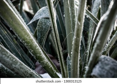 Green leaves are tipped with frozen dew on a cold winter morning. Plant covered with frost, close up. Macro leaf photography