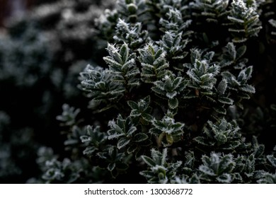 Green leaves are tipped with frozen dew on a cold winter morning. Plant covered with frost, close up. Macro leaf with ice crystals