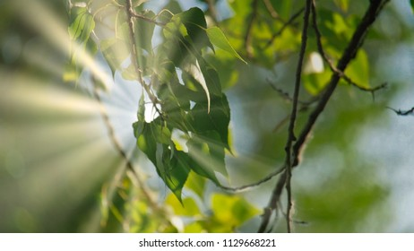 Green Leaves Of Tree Birch Hanging Down In Forest On Sunny Day