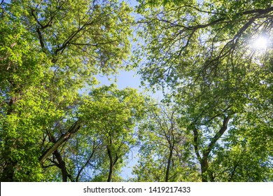 Green leaves of trees view from below against the blue sky, spring nature.