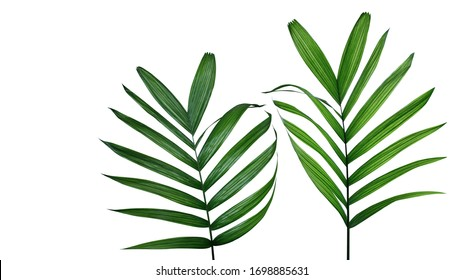 Green leaves of tropical Parlour palm or Neanthe bella (Chamaedorea elegans) the small palm tree rainforest plant, popular indoor foliage houseplant isolated on white background with clipping path.