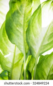 Green leaves of a tropical plant close-up, nature and botanical background.