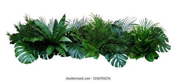 Green leaves of tropical plants bush (Monstera, palm, fern, rubber plant, pine, birds nest fern) floral arrangement indoors garden nature backdrop isolated on white background, clipping path included. - Shutterstock ID 1556705276