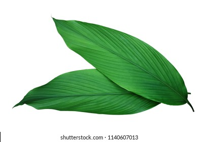 Green leaves of turmeric (Curcuma longa) ginger medicinal herbal plant isolated on white background, clipping path included.