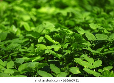 Green leaves under the sun lights