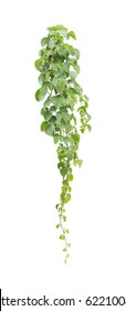 green leaves, vine plant climbing on white background, clipping path.