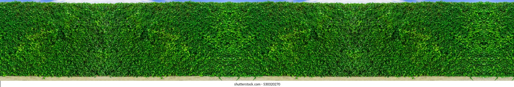 Green leaves wall panorama for art work and backdrop design nature theme