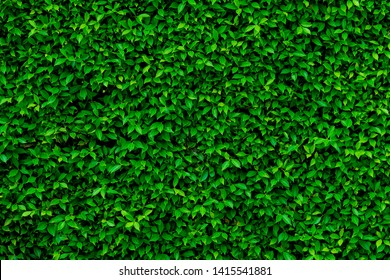 Green leaves wall texture of the tropical forest plant,on black background