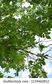 Green leaves of walnut and blue sky