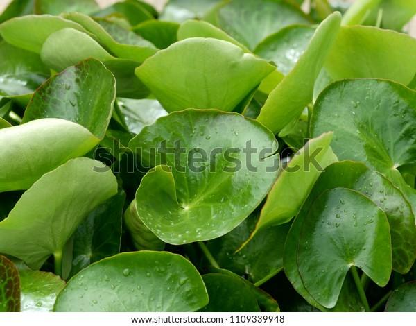 Green Leaf Fringe