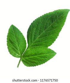 Green leaves, white background.