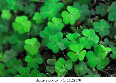 Green leaves of wild clover