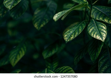 Green leaves in winter, big strong green leaves with some yellow color on the same leaf use for nature background