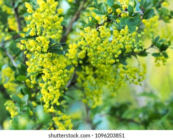 Green leaves and yellow flowers of Mahonia Aquifolium, close-up. Flowering plant, family Berberidaceae. Yellow spring floral background