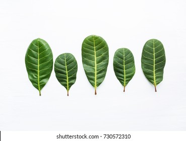 Green leaves yellow veins of  Cashew on white wooden background and copy space.