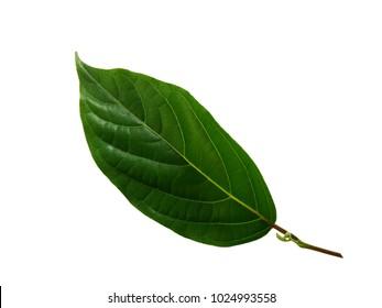 Green leaves of Ylang-Ylang, Cananga odorata  isolated on white background