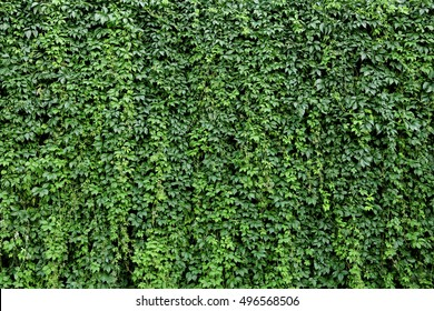Green leaves.Green leaves wall texture. Summer background