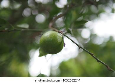 green lemon fresh  - Shutterstock ID 1052662244