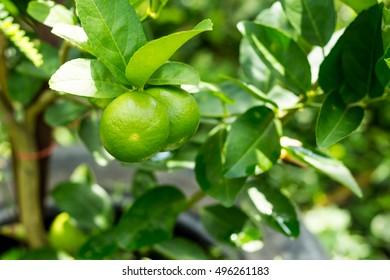 Green lemon in garden, lemon in tree