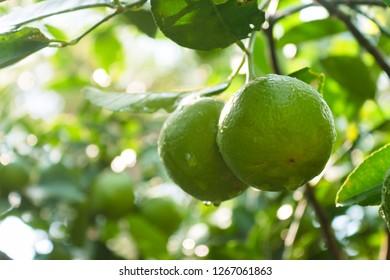 Green lemon growing on tree in the garden.