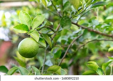 green lemon lime on tree