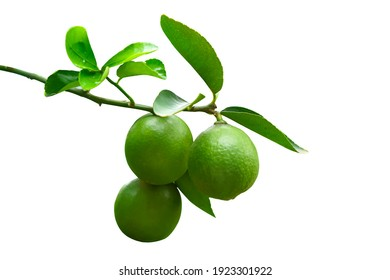 Green lemon on the tree isolated on the white background, an excellent source of vitamin C. blurred green lime on the tree. selective focus the Lemon leaf