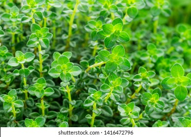 Green Lemon Thyme ( Thymus Citriodorus ) plant, close up macro. Aromatic seasoning cooking ingredient. Thyme herb growing in garden. Organic herbs green thyme plant.