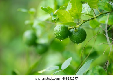 green lemon, lemon tree, lime tree,Lime green tree hanging from the branches.