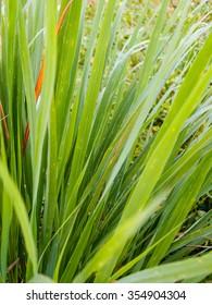 Green lemongrass leaves background