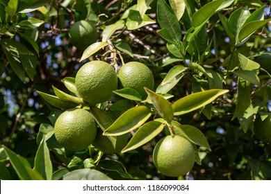 Green lemons hanging on a tree in Greece