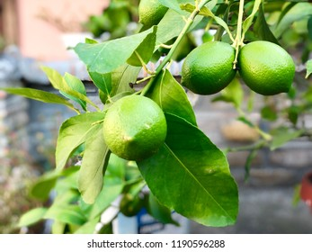 Green lemons outside