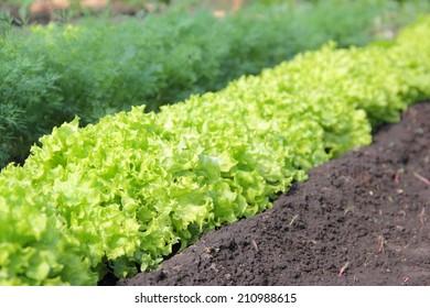 Green lettuce