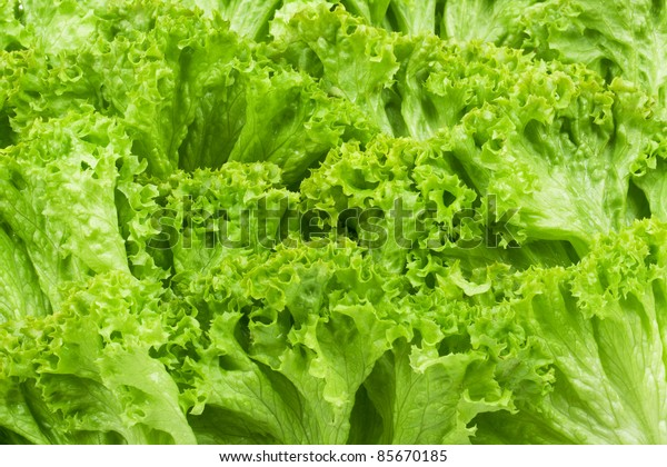 Green lettuce backgrounds. Studio macro