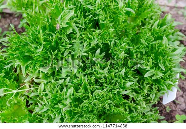 green lettuce in the garden
