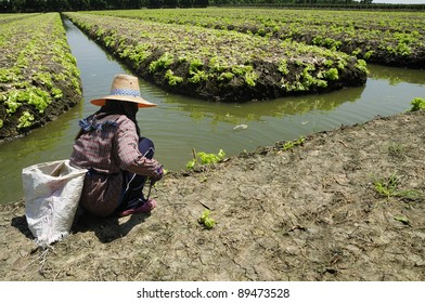 Green lettuce growing and a native farmer is working in the field, Thailand traditional farming - closeup view