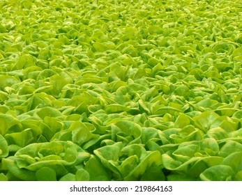 Green lettuce grown in a roof farm with hydroponics.