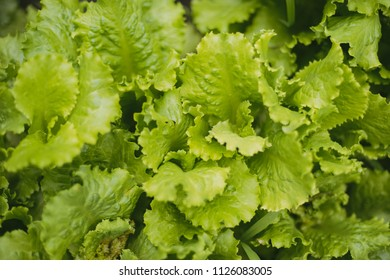 Green lettuce leaves in the home garden