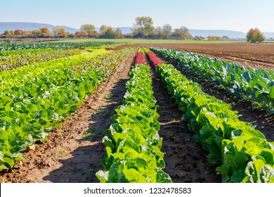 Green Lettuce leaves on garden beds in the vegetable field.  Gardening  background with green Salad plants in the open ground,