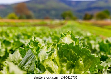 Green Lettuce leaves on garden beds in the vegetable field.  Gardening  background with green Salad plants in the open ground, close up