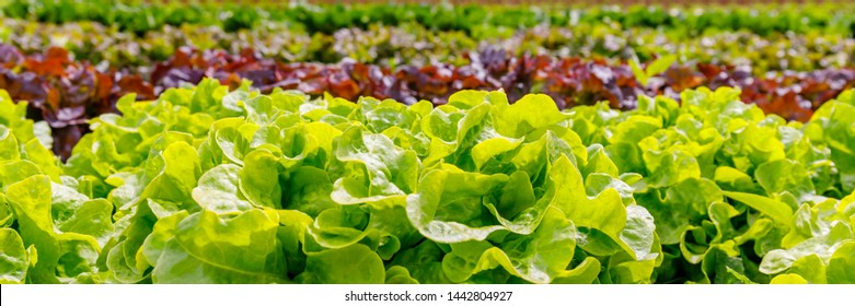 Green Lettuce leaves on garden beds in the vegetable field.  Gardening  background with green Salad plants in the open ground, banner. Lactuca sativa green leaves, closeup. Leaf Lettuce in garden bed
