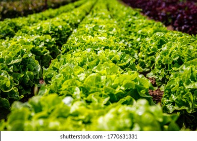 Green Lettuce leaves on garden beds in vegetable field. Gardening background with green Salad plants in open ground, closeup. Lactuca sativa green leaves, close up. Leaf Lettuce in garden bed