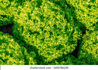 Green lettuce leaves, top view. Beauty lettuce plant growing in garden, top view. Green leaf lettuce on garden bed in vegetable field.  Gardening  background with lettuce green plants. Lactuca sativa
