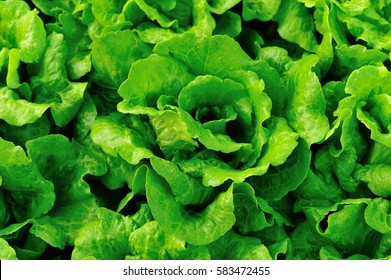 green lettuce plants in growth at field