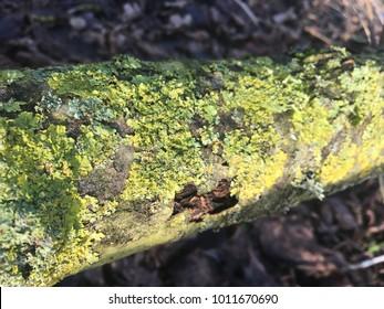 Green lichen moss growing on fallen tree.