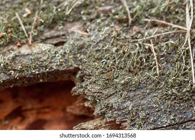 Green lichen on old rotten tree